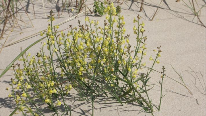 Stirnubuks.lv - Kāpas un kāpu augi